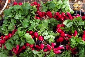 Autumn Radishes