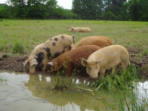 Pigs1-1024x768
